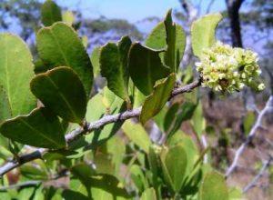 Maytenus senegalensis. Photo: Bart Wursten. Source: Flora of Zimbabwe