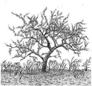 Commiphora pyracanthoides subsp. glandulosa. Artist: R. Herbert. Source: Flora of Zimbabwe