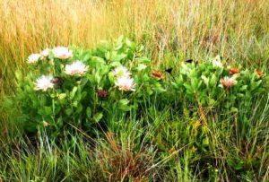 Protea angolensis. Photo: Bart Wursten. Source: Flora of Zimbabwe