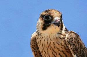 Lanner Falcon, Falco biamicus, Photo: Wikipedia