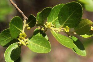 Cassine aethiopica. Photo: Bart Wursten. Source: Flora of Zimbabwe