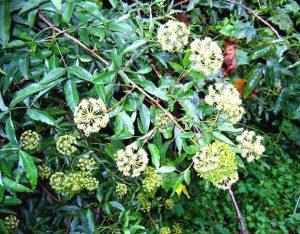 Heteromorpha trifoliate. Photo: Bart Wursten. Source: Flora of Zimbabwe