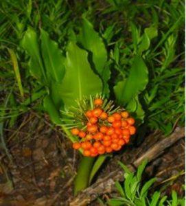 Scadoxus (Haemanthus) multiflorus in fruit