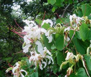 Bauhinia petersiana. Photo: Bart Wursten. Source: Flora of Zimbabwe