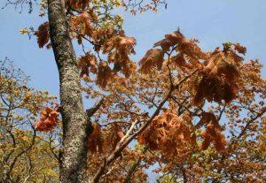Brachystegia boehmii. Bart Wursten. Source: Flora of Zimbabwe.