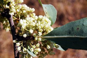 Maytenus senagalensis. Photo: Mark Hyde. Source: Flora of Zimbabwe