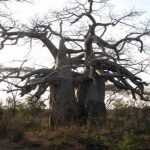 'The Lovers', two closely clasped baobabs which were the first of Lyn Mullin's Historic Trees