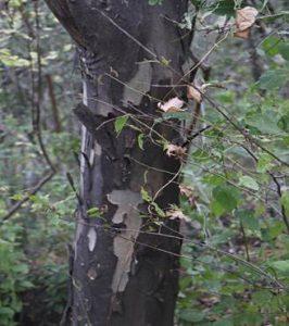 Stereospermum kunthianum (Pink Jacaranda) trunk