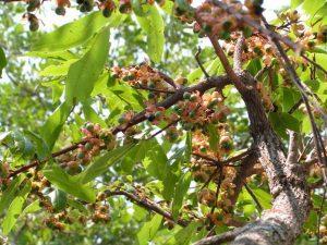 Ochna schweinfurthiana. Photo: Jos Stevens. Source: Flora of Zimbabwe