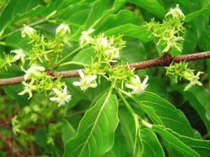 Vangueria apiculata. Photo: Bart Wursten. Source: Flora of Zimbabwe