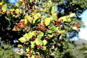 Christmas berry Psorospermum febrifugum. Photo: Mark Hyde. Source: Flora of Zimbabwe
