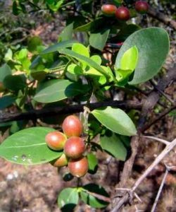 Carissa edulis. Photo: Bart Wursten. Source: Flora of Zimbabwe