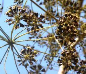 Steganotaenia araliacea. Photo: Bart Wursten. Source: Flora of Zimbabwe