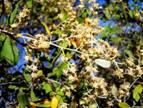 Tarchonanthus camphorates. Photo: L.E.Lauritsen. Source: Flora of Zimbabwe