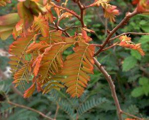 Brachystegia tamarindoides. Photo: R.Burrett. Source: Flora of Zimbabwe