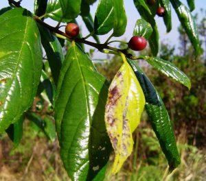 Rhamnus prinioides. Bart Wursten. Source: Flora of Zimbabwe