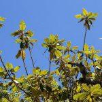 Tarchonanthus trilobus. Photo: Bart Wursten. Source: Flora of Zimbabwe