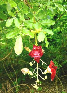 Kigelia africana. Photo: Bart Wursten. Source: Flora of Zimbabwe