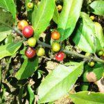 Euclea natalensis fruit