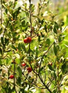 Diospyros lycioides. Photo: Petra Ballings. Source: Flora of Zimbabwe