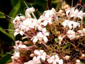 Clerodendrum eriophyllum. Photo: Bart Wursten. Source: Flora of Zimbabwe
