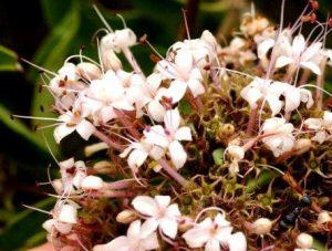 Clerodendrum eriophyllum. Photo: Bart Wursten. Source: Flora of Zimbabwe