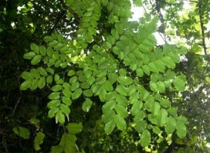 Erythrophleum suaveolens. Photo: Bart Wursten. Source: Flora of Zimbabwe