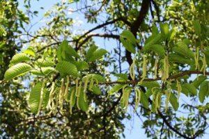 Chlorophora excelsa. Photo: Bart Wursten. Source: Flora of Zimbabwe