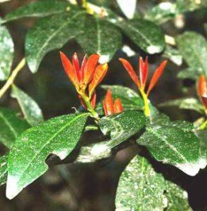 African Coca tree, Erythroxylum emarginatum Botanic Garden, Photo: Ryan Truscott