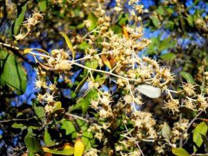 Tarchonanthus camphoratus. Photo: L. E. Lauritsen. Source: Flora of Zimbabwe