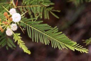 Acacia arenaria. Photo: Bart Wursten. Source: Flora of Zimbabwe
