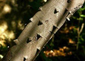 Zanthoxylem capense. Photo: Bart Wursten. Source: Flora of Zimbabwe