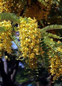 Cassia ferruginea - Photo Mark Hyde