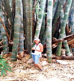 Julie in front of the giant bamboo. Photo: Julie Stevenson