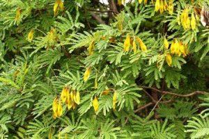 Peltophorum africanum. Photo: Mark Hyde. S