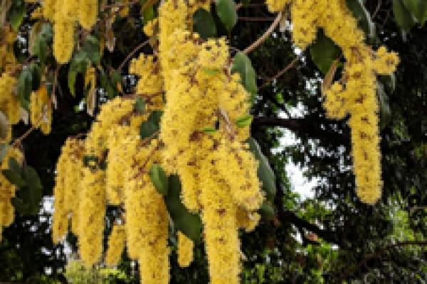 Kenya croton, Croton megalocarpus.