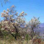 Dombeya rotundifolia. Photo: Bart Wursten. Source: Flora of Zimbabwe
