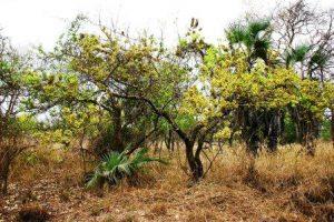 Combretum fragrans. Photo: Bart Wursten. Source: Flora of Zimbabwe