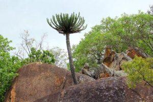 Euphorbia cooperi. Photo: Bart Wursten. Source: Flora of Zimbabwe