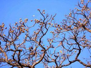 Ricinodendron rautanenii. Photo: Helen Pickering. Source: Flora of Zimbabwe