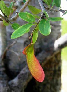 Securidaca longepedunculata. Photo: Bart Wusten. Source: Flora of Zimbabwe