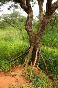 Baikiaea plurijuga. Photo: Bart Wursten. Source: Flora of Zimbabwe