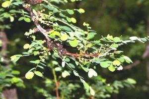 Phyllanthus engleri. Photo: Bart Wursten. Source: Flora of Zimbabwe