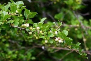 Flueggea virosa. Photo: Bart Wursten. Source: Flora of Zimbabwe