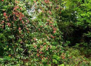 Blighia unijugata. Photo: Meg Coates Palgrave. Source: Flora of Zimbabwe
