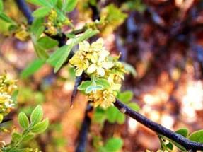 Citropis daweana. Photo: Rob Burrett. Source: Flora of Zimbabwe