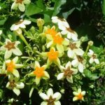 Mussaenda arcuata, Photo: Bart Wursten. Source: Flora of Zimbabwe