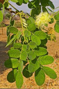 Albizia versicolor. Photo: Meg Coates Palgrave. Source: Flora of Zimbabwe