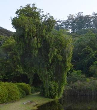 Callistemon viminalis tree Photo by Ryan Truscott