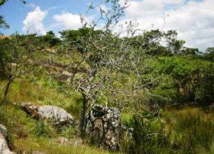 Euphorbia matabelensis. Photo: Bart Wursten. Source: Flora of Zimbabwe